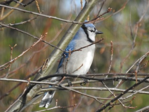 Blue jay perched winter