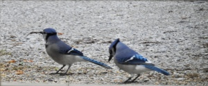 Blue Jays eating
