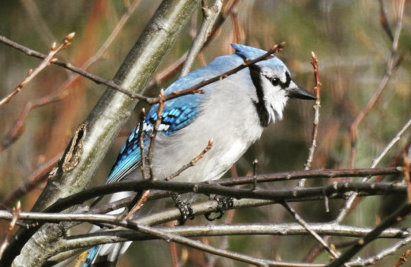Beautiful blue jay winter birch tree branch