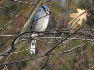 Blue jay winter birch tree
