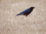 Crow standing in the grass