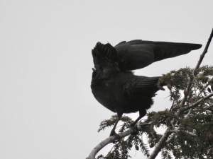 Beautiful crow stretches atop a tree