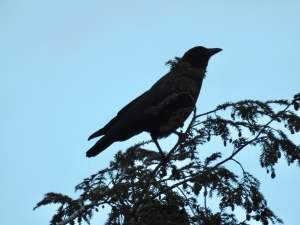 Crow atop hemlock tree sentinel