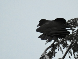 Beautiful crow stretches on a hemlock tree