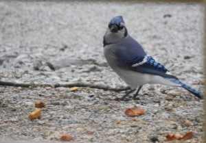 Beautiful blue jay eats peanuts