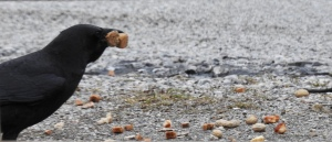 Crow eating croutons