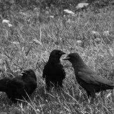 b&w crow family murder photo grass
