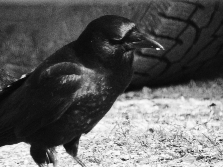 b&w crow photo