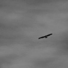 b&w falcon photo