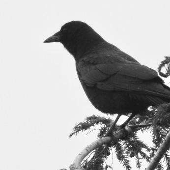 b&w crow hemlock tree photo