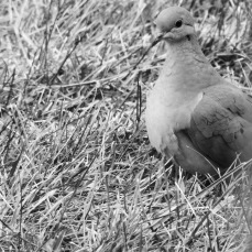 b&w mourning dove photo grass