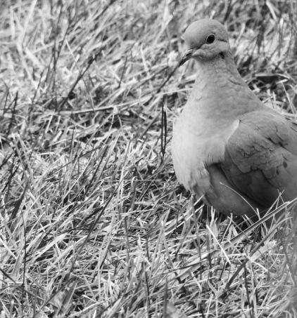 b&w mourning dove photo grass