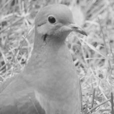 b&w mourning dove beautiful face photo