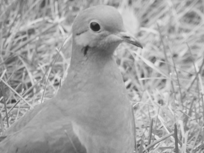 b&w mourning dove beautiful face photo