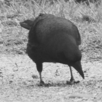 b&w crow eating photo