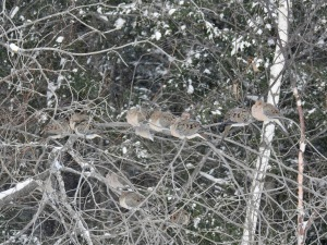 mourning dove flock winter