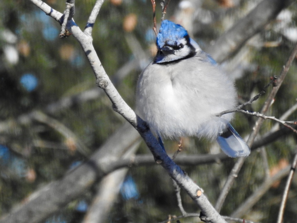 blue jay birch tree