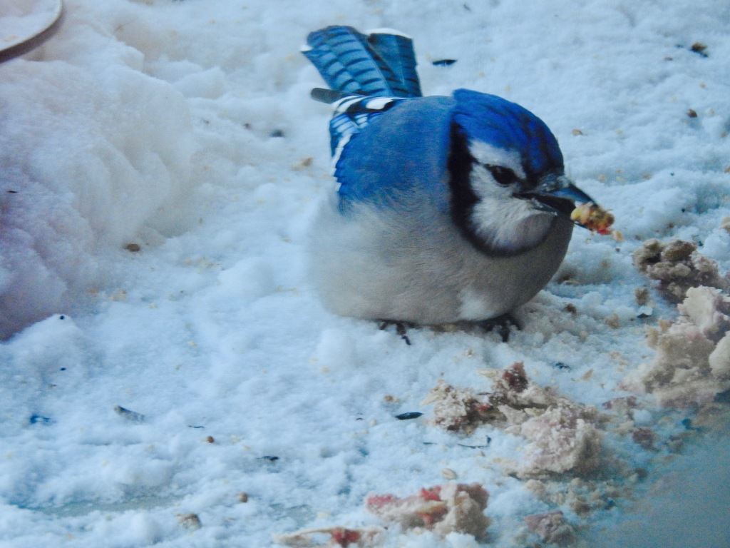 blue jay eating