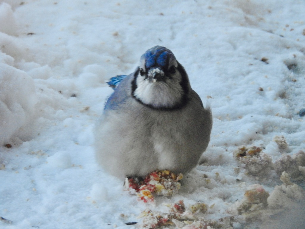 beautiful winter blue jay